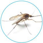 anopheles-mosquito